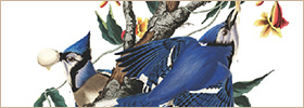 Audubon's bluejays