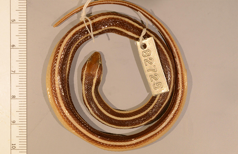 Photograph of a coiled snake specimen with a metal numbered tag attached